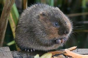 endangered water voles live on site